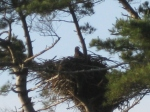 Baby Eagle in Maine