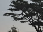 Eagles in Maine
