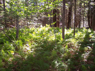 Ferns in the woods of Maine